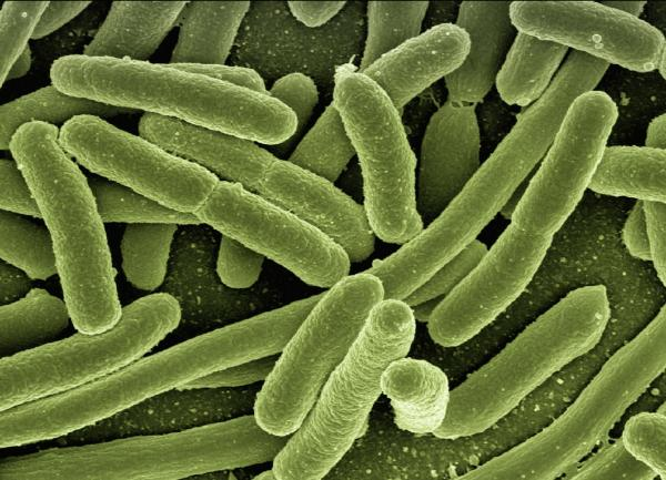 E-Coli Bacteria, Reengineering living systems, AIBN's Small Things Big Changes-uq
